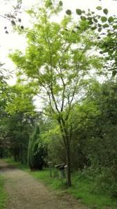 schrieversboom (Small) (2)